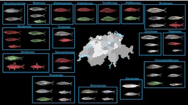 Die Diversität der Schweizer Felchenarten: Felchen ist nicht gleich Felchen!